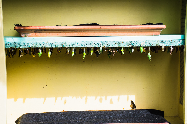 Hanging chrysalises at Butterfly Gardens.