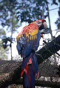 Parot in Amazon Jungle in Brazil.