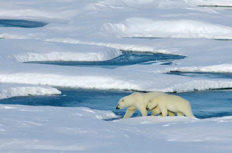 Polar bears on Sea Ice.