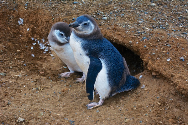 Parent and baby penguin at their home on Magdalena Island, Chile.