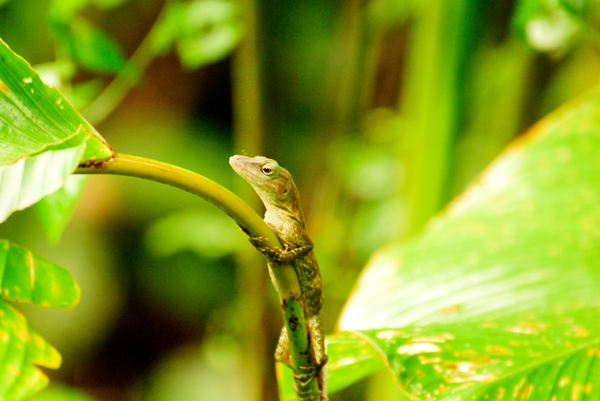A lizard at Manuel Antonio National Park.