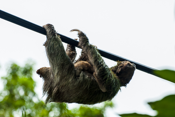 A mother sloth carrying her baby on her stomach near Manuel Antonio National Park.