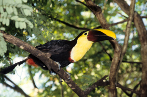Toucan in Costa Rica.