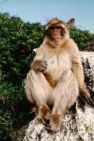 Barbary ape in Gibraltar.
